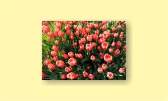 тюльпаны цветы поляна